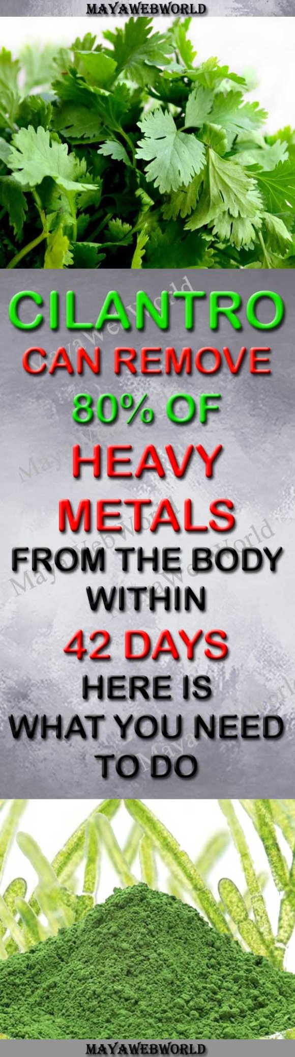 Cilantro-can-Remove-80-of-Heavy-Metals-from-the-Body-within-42-Days-–-Here-is-What-You-Need-to-Do-MayaWebWorld